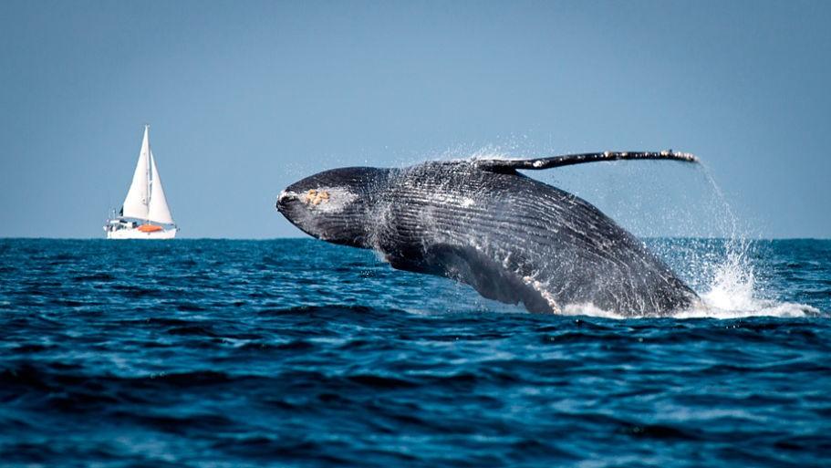 ¡Llegaron las ballenas a Puerto Vallarta!