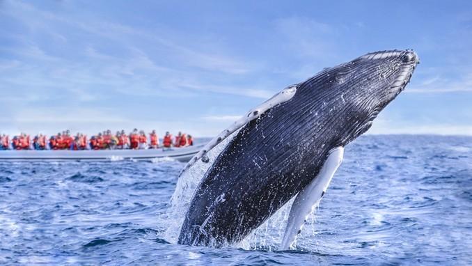 ¡Llega la ballena jorobada a Puerto Vallarta!
